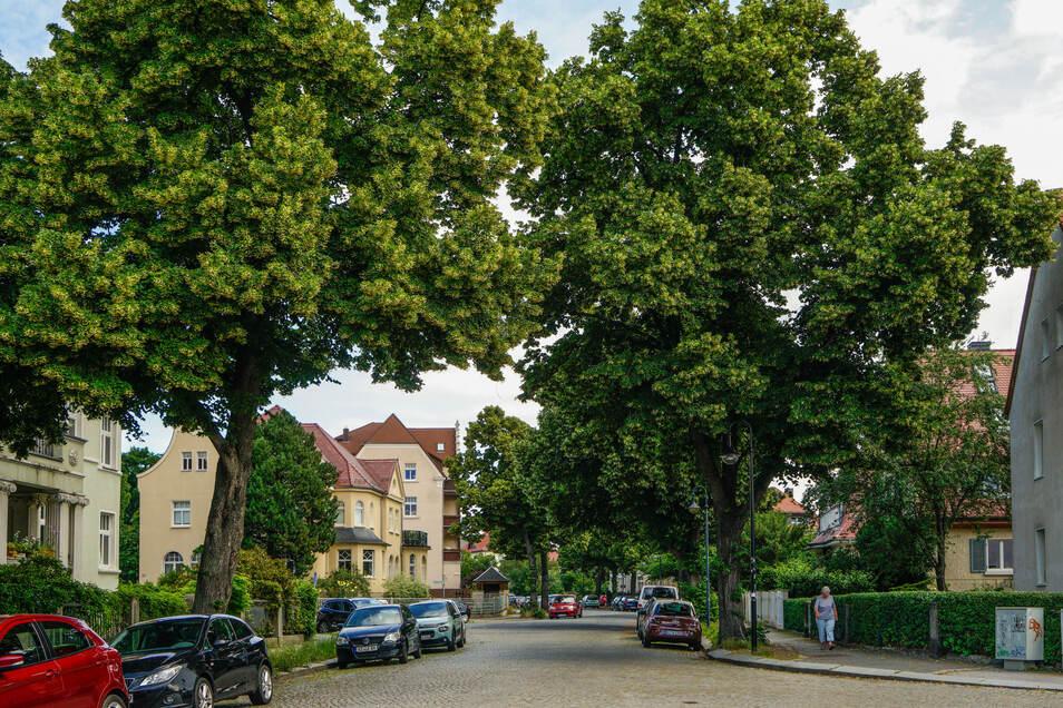 Noch stehen die alten Linden an der Paulistraße in Bautzen. Damit das auch so bleibt, engagieren sich die Anwohner.