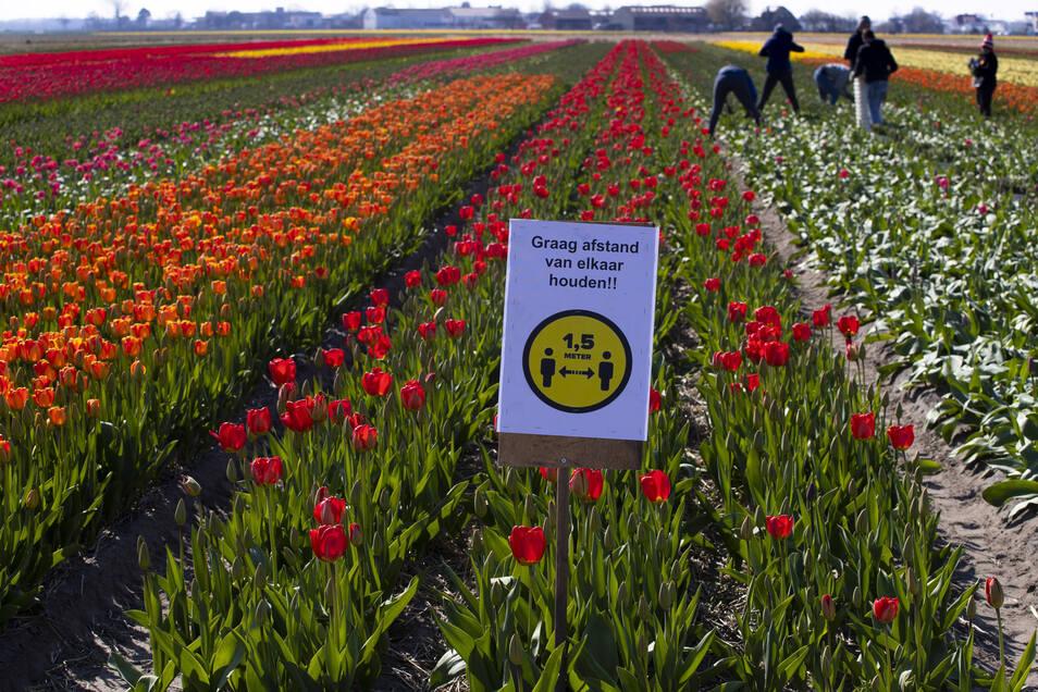 Der niederländische Blumenhandel ist durch die Corona-Krise schwer getroffen.