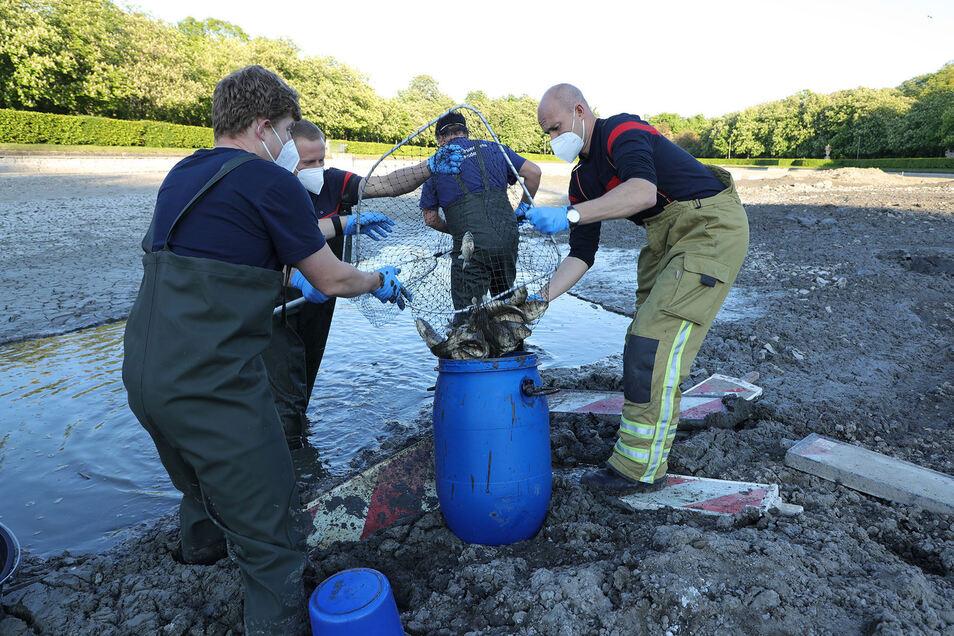 Im Großen Garten versuchten rund 200 Fische, auf engstem Raum zu überleben - bis die Feuerwehr am Sonnabend endlich kam.