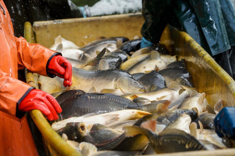 Nachdem die Fische aus dem Wasser gezogen wurden, kamen sie in große Bottiche.