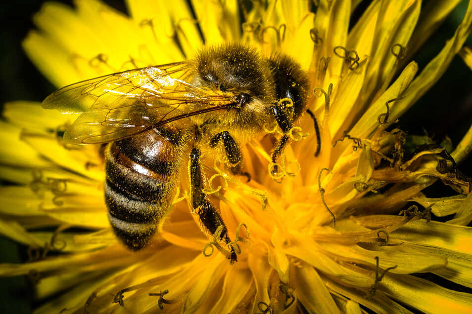 Biene auf einem Löwenzahn.