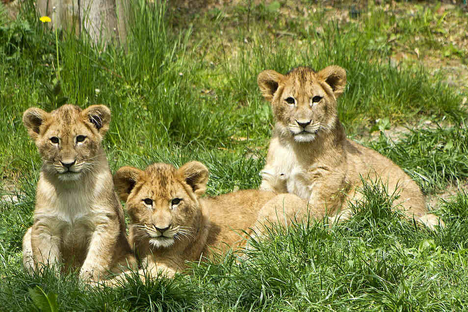 Der Löwennachwuchs war ursprünglich zu fünft. Die Mutter tötete im März zwei der Jungen.