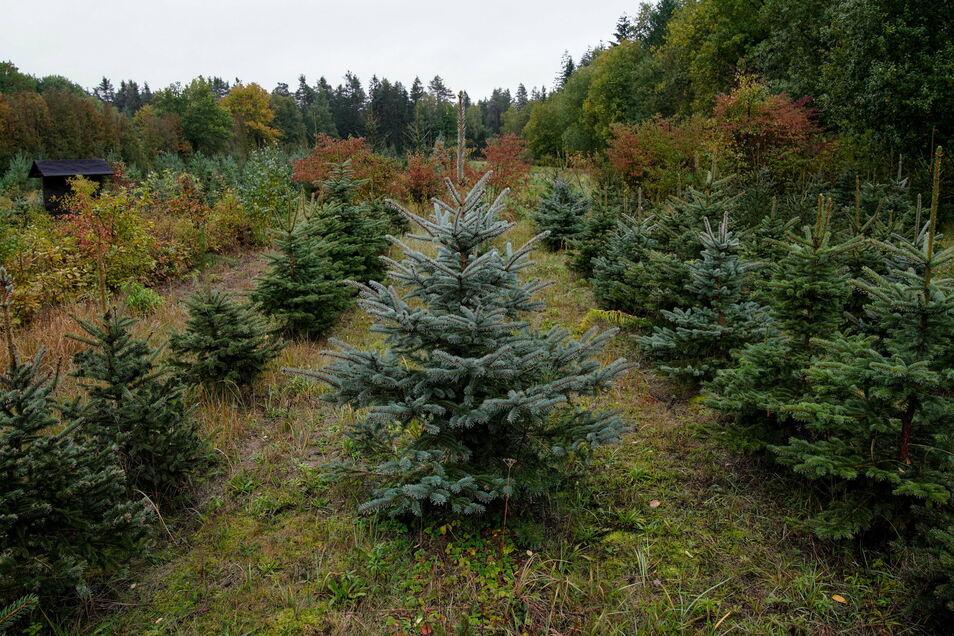 In der Bühlauer Forstbaumschule stehen Weihnachtsbäume in Reih und Glied. Doch viele haben bereits Schäden, teilweise fehlt der Maiwuchs.