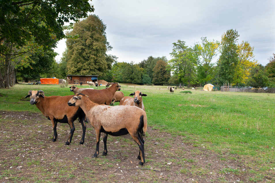 Wo jetzt oberhalb der Teplitzer Straße in Strehlen noch idyllisch Schafe weiden, soll eine neue Wohnsiedlung entstehen. Das Bauland mitten in der Stadt ist begehrt.