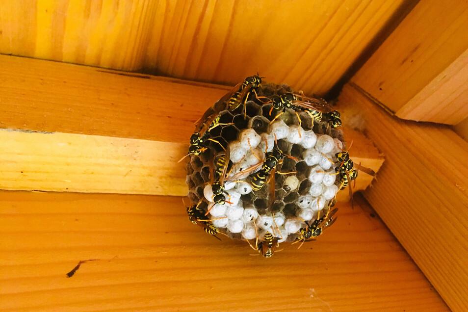 Dieses Nest von Feldwespen befindet sich im Spielhaus eines Dresdner Kindergartens. Dort hat Marion Loeper mit den Kindern geübt, wie man ganz langsam die Spielzeugautos rausholt und wieder reinstellt. So durften das Nest und die Feldwespen bleiben.