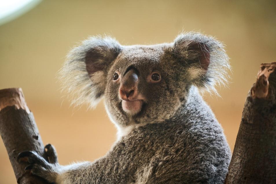 """Koalas sind das Aushängeschild des Dresdner Zoos geworden. Ihre flauschigen, großen Ohren und die """"zusammengerückten Gesichter"""" lassen sie extrem niedlich wirken."""