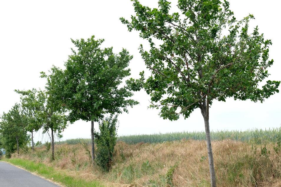 Trockene Obstbäume am Straßenrand bei Winkwitz.