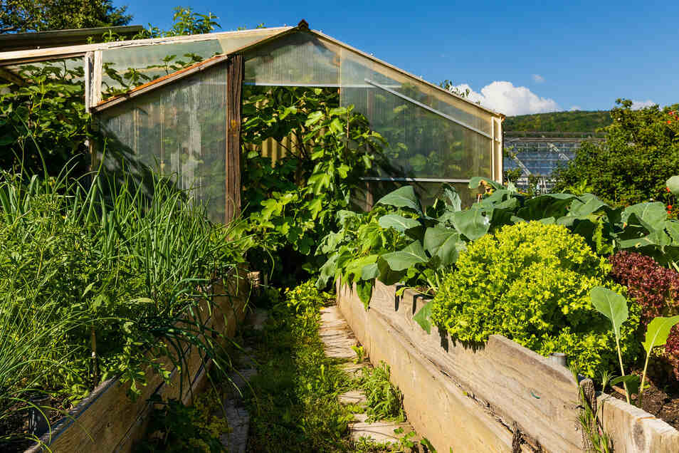 Die Feige passt kaum noch in Friebels Gewächshaus. Üppig wächst das Gemüse.