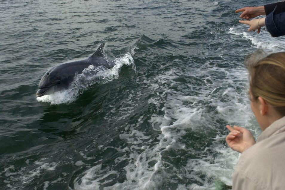 Der Delfin «Fungie» schwimmt 2002 neben einem Boot mit Touristen.