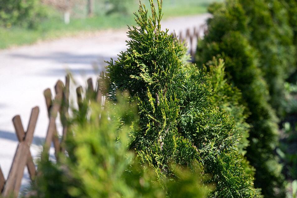 Der Lebensbaum ist ein beliebtes Nadelgewächs für Hecken.