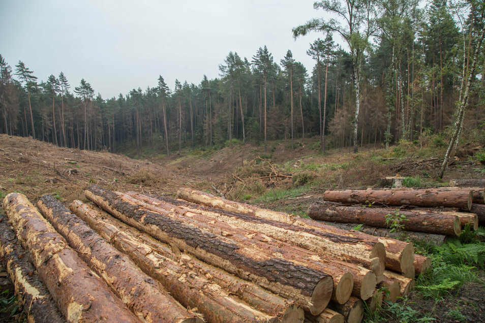 Noch immer liegt oder steht mehr als ein Drittel des von Borkenkäfern geschädigten Holzes aus dem vergangenen Jahr in den Wäldern. Schon bald könnte das Baumsterben seine Fortsetzung finden.