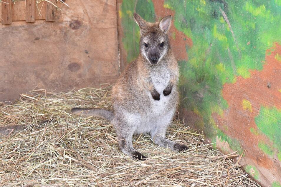 Das kleine Bennett Känguru hat inzwischen den schützenden Beutel verlassen und hüpft mit den anderen durch das Gehege.