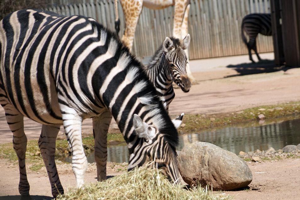 Anfang April wurde Zebra-Nachwuchs Camina geboren. Zoo-Besucher kennt die kleine Stute noch nicht. Das soll sich ändern.