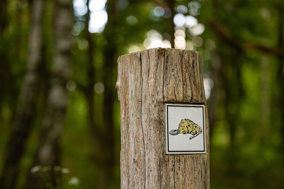 Wer auf dem Biberpfad unterwegs ist, kann mit viel Glück einige der Nager beobachten.