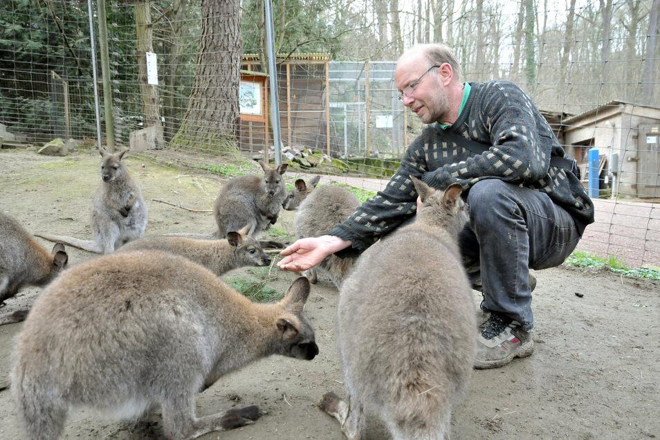 Kängurus gehören seit vielen Jahren zu den Besucher-Attraktionen im Tierpark Meißen. Chef Heiko Drechsler hat bereits mehrere Jungtiere großgezogen.