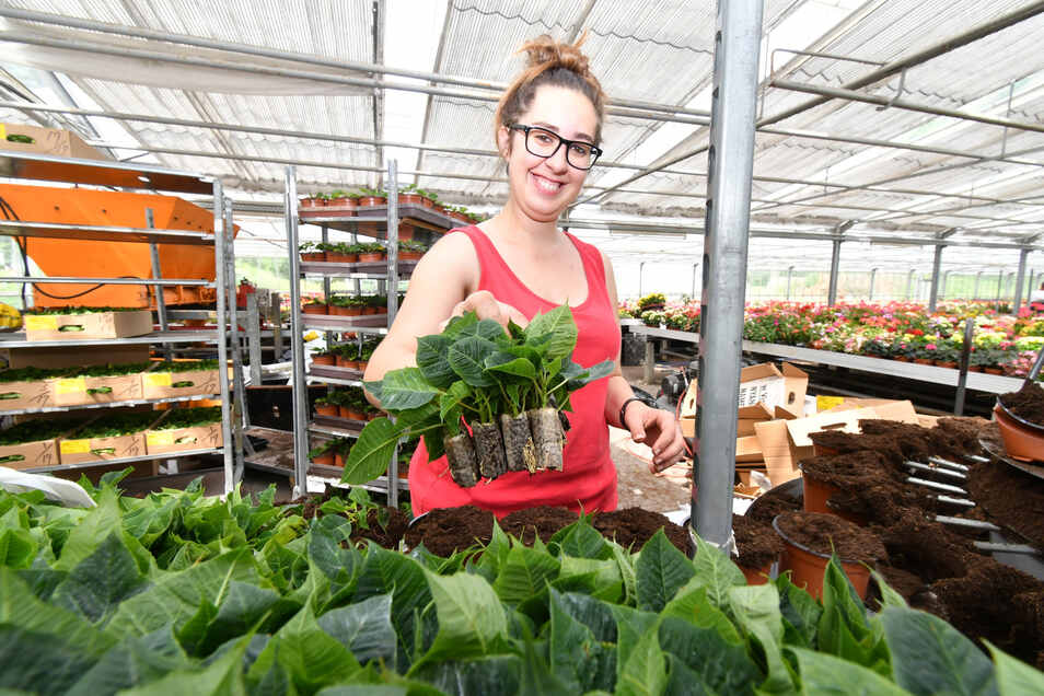 Marie Michel mit den jungen Pflanzen: 17000 Stecklinge werden in der Gärtnerei Klein in Sebnitz eingetopft.