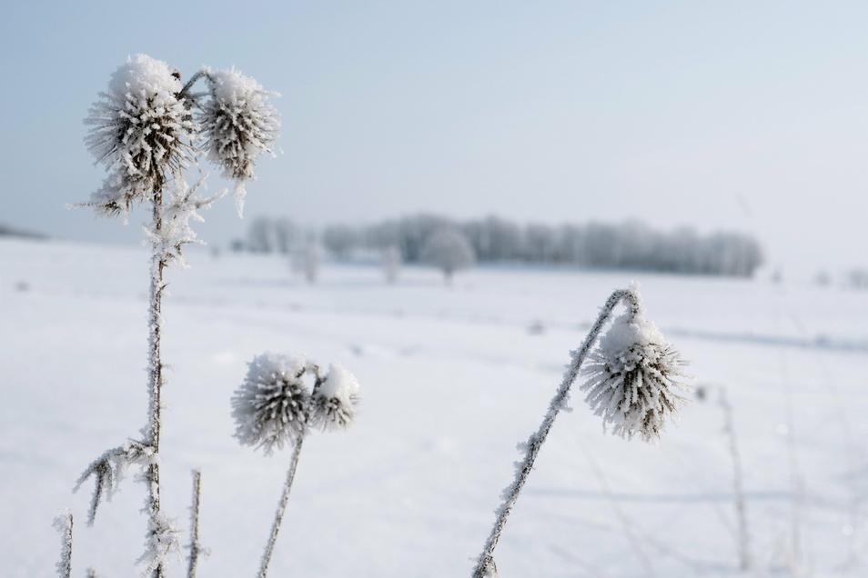 Die eisigen Temperaturen sorgen für eine zauberhafte Schneelandschaft mit gefrorenen Blumen - so wie hier am Mittwochmorgen in Königshain.