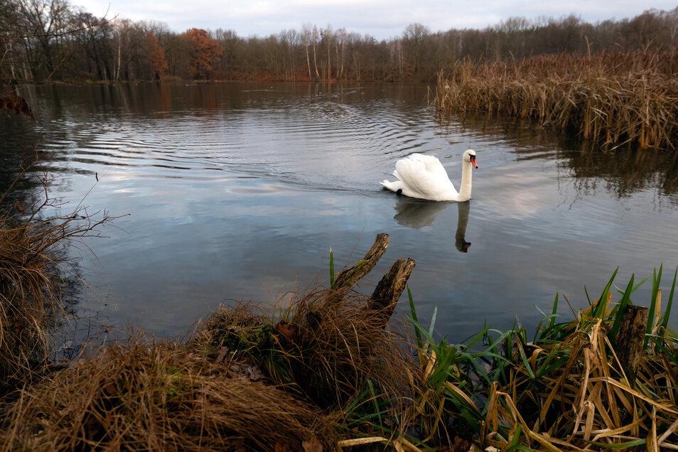 Ein Schwan dreht auf dem Horkaer Teich in Bischofswerda seine Runde. Das Foto entstand, bevor Teile des Teiches zugefroren sind.