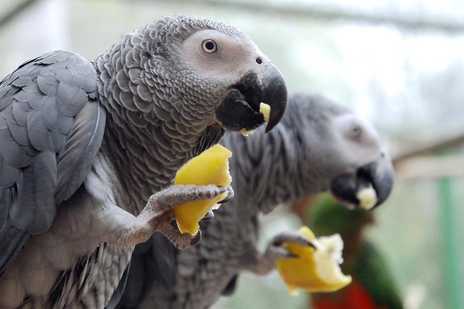 Auch der Meißner Tierpark hält Graupapageien. Sie gehören zu den besonderen Lieblingen der Besucher.