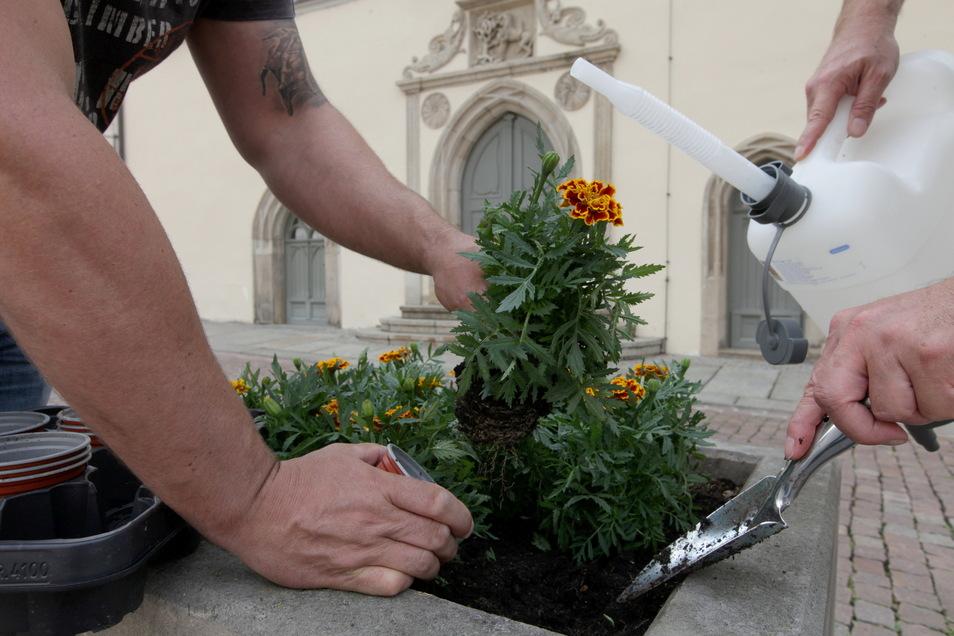 Wieder Farbe im Blumenkübel: Vor dem Pirnaer Standesamt blühen jetzt Studentenblumen.