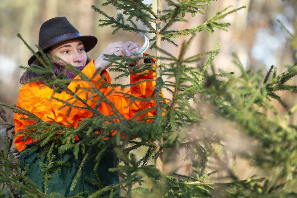 Carolin Werthschütz vom Staatsbetrieb Sachsenforst kennzeichnet eine Fichte, die am Sonnabend direkt aus dem Wald bei der Wildweihnacht im Forsthaus Kreyern angeboten wird.