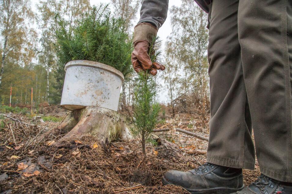 So wie hier wurden auch im Waldgebiet Struth bei Wilsdruff Bäume gepflanzt.
