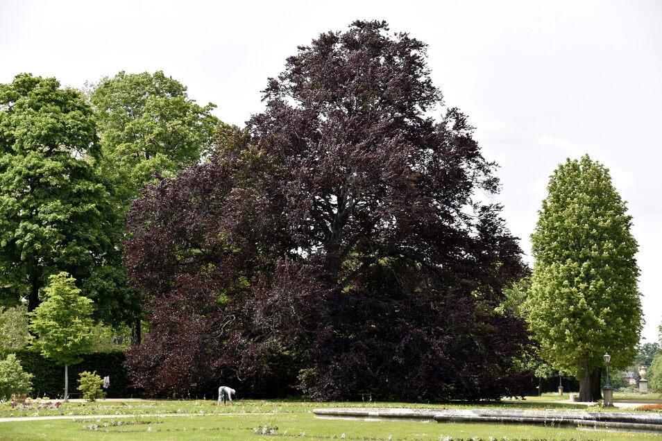 Im Lustgarten ist eine beiden imposanten Rotbuchen abgestorben, die Verbleibende soll vor dem aggressiven Pilz Riesenporling gerettet werden.