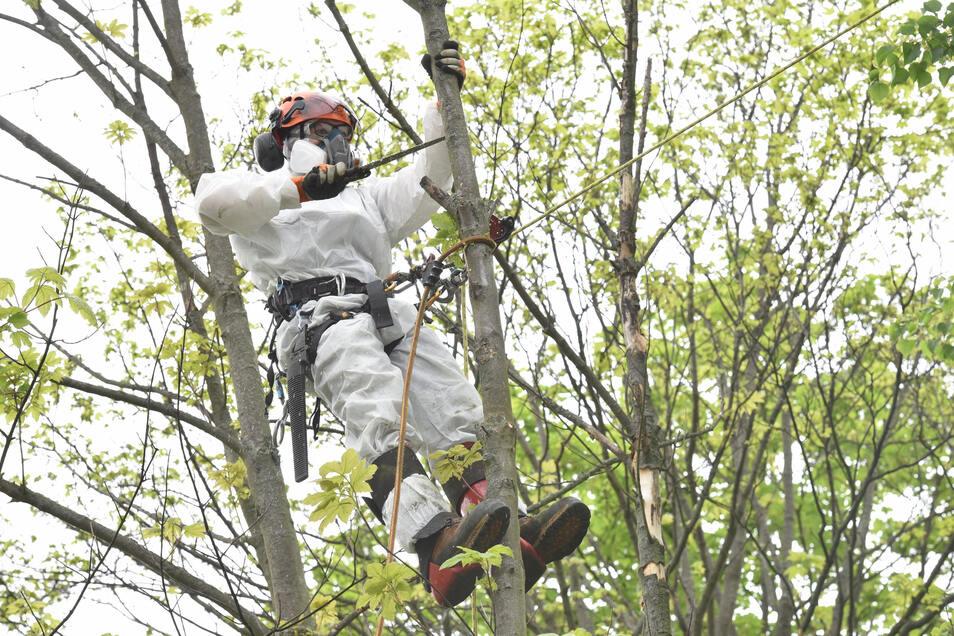 Gefährlich nicht nur wegen der Höhe: Die Rußrindenkrankheit zersetzt das Holz in feine Partikel.