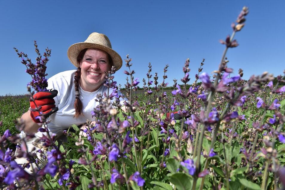 Cindy Richter gehört zu den Bombastus-Mitarbeitern, die diese Woche bei Freital die Salbeiblüten ernten.