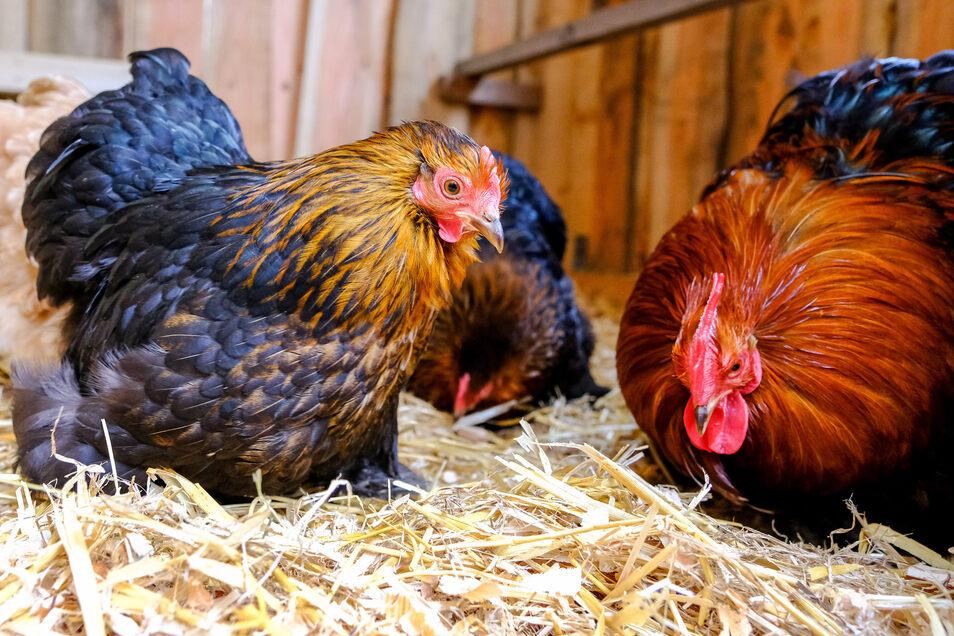 Hühner und anderes Federvieh dürfen derzeit nicht ins Freie.