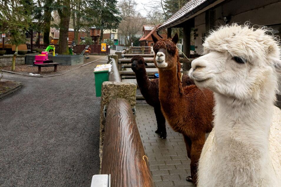 Wo bleiben die Besucher? Das scheinen sich die Alpakas auch zu fragen. Der Tierpark Bischofswerda hat zwar seit 7. April wieder geöffnet. Doch bisher mit wenig Resonanz.