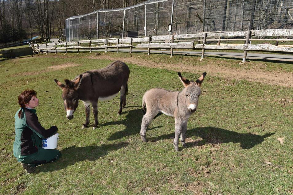 Am 19. Marz wurde dieser Esel geboren, der inzwischen ausgelassen durch das Gehege tollt, hier mit Tierpflegerin Maika Naß.