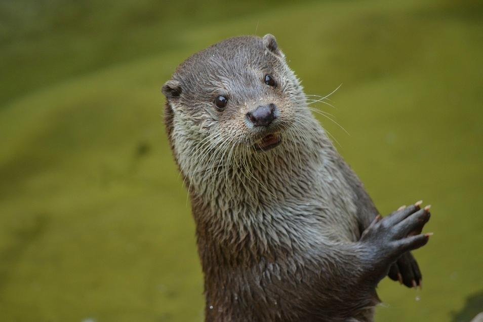 Zu Beginn des 20. Jahrhunderts wurden Fischotter gejagt, um an den kostbaren Pelz zu kommen.