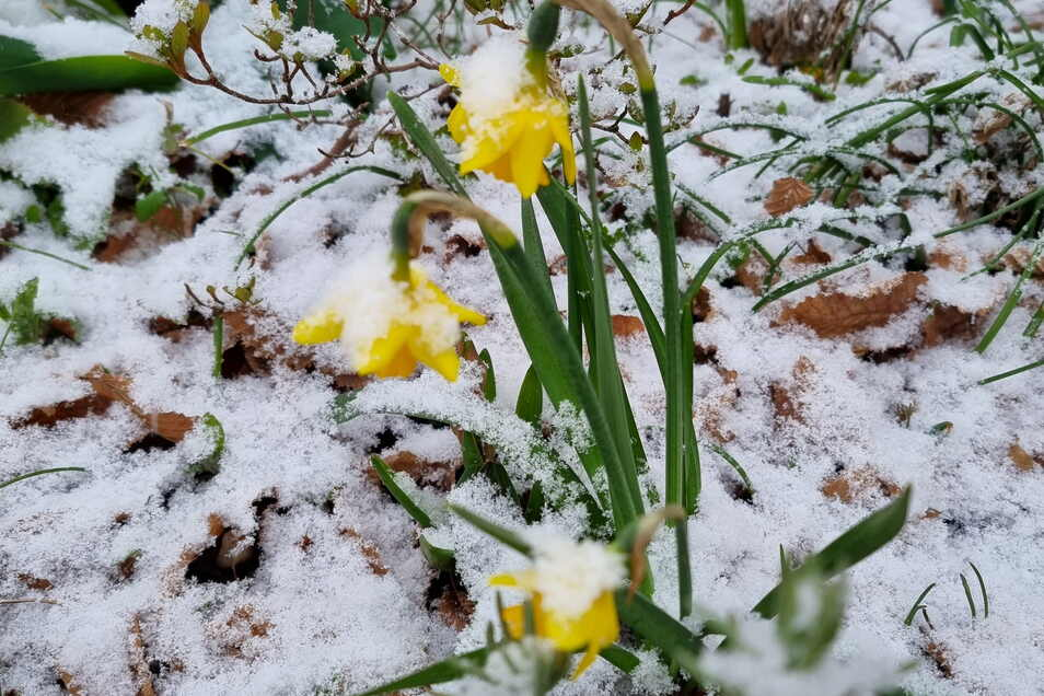 Osterglocken in voller Blüte, allerdings im Schnee.