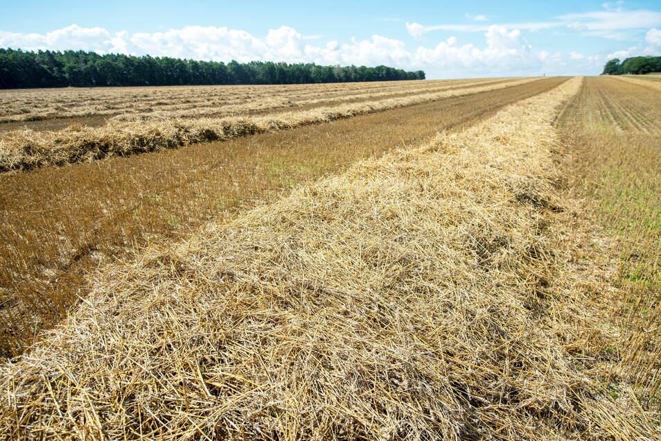 Nasses Stroh liegt in Reihen auf Feldern entlang der Meißner Landstraße bei Radeburg. Seit einer Woche ist weder Ernten noch Strohräumen möglich.