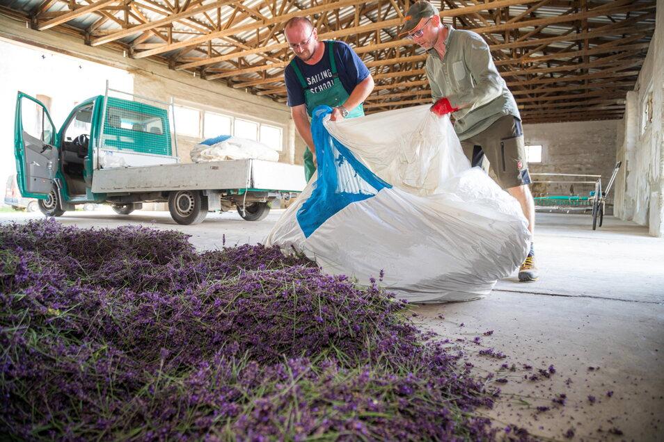 In einer Halle wird der Lavendel zwischengelagert, ehe er in die Destillieranlage gefüllt und Öl daraus wird.