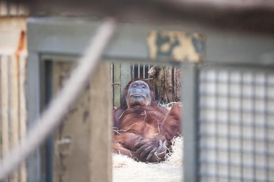Zur Zukunft des Orang-Utan-Hauses im Dresdner Zoo gibt es unterschiedliche Meinungen im Stadtrat.