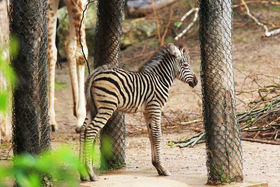Zebrafohlen Django ist einer der jüngsten Zoobewohner.