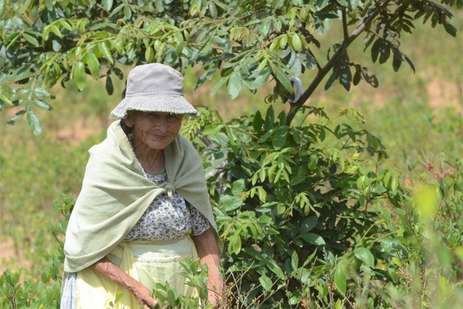 Die 80 Jahre alte Franziska Berra arbeitet bei der Kokaernte.