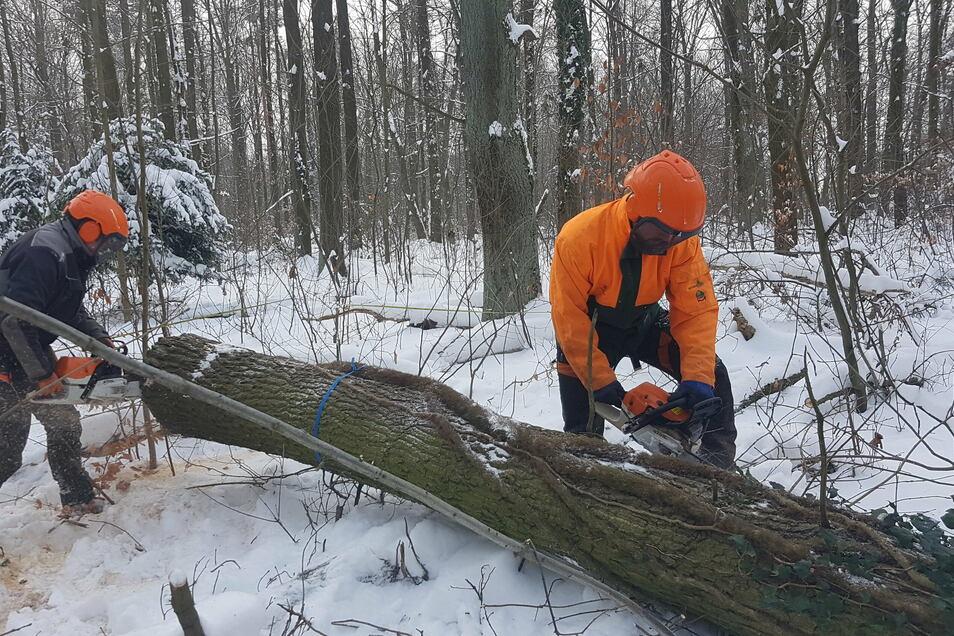 Die Forstwirte Felix Bosert und Kevin Wolf fällen Schadholz im Revier Klotzsche.
