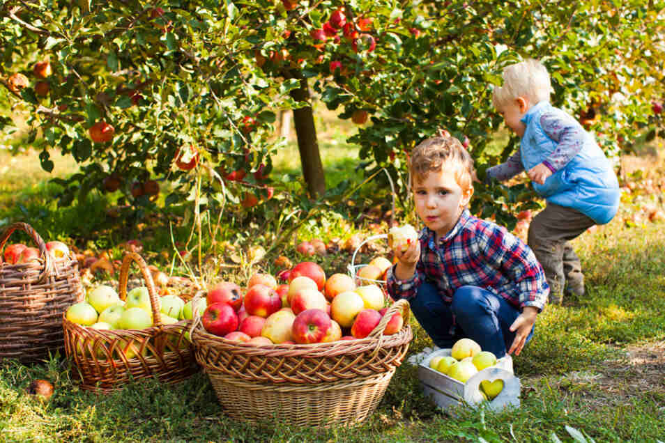 Es macht Spaß, Äpfel selbst zu pflücken – und man hat so garantiert frisches Obst im Haus.
