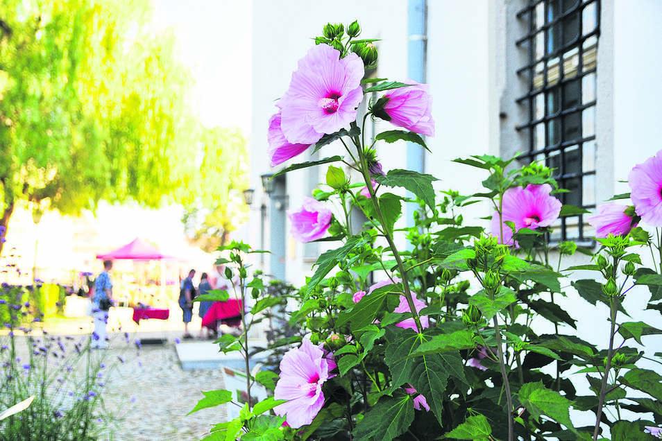 Die unglaublich schönen, farbenreichen und riesigen Staudenhibiskusblüten fielen bereits im letzten Jahr sofort ins Auge und man kam nicht daran vorbei, sich diese 25-30 cm Durchmesser großen Blüte aus der Nähe anzusehen. Sicher sind sie auch in diesem Ja