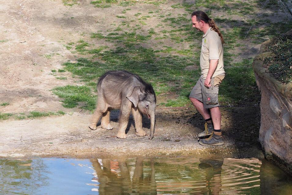 Elefantenbulle Bền Lòng im März mit seinem Pfleger im Gehege in Leipzig.
