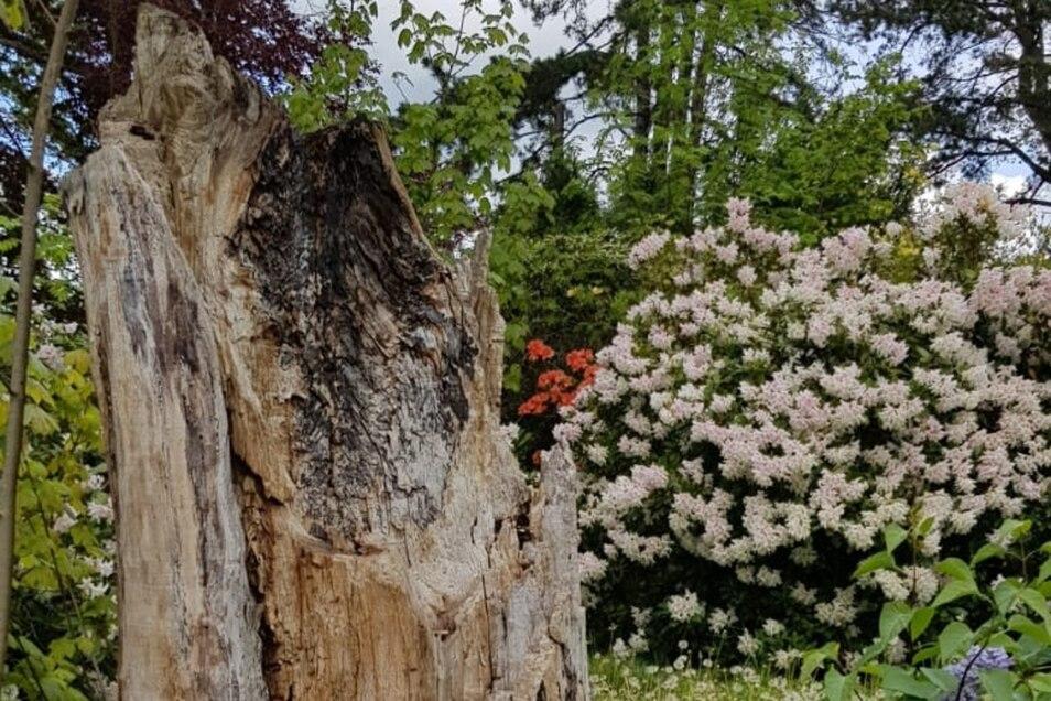 Ein toter Baum im Pulsnitzer Stadtpark findet Mieter.