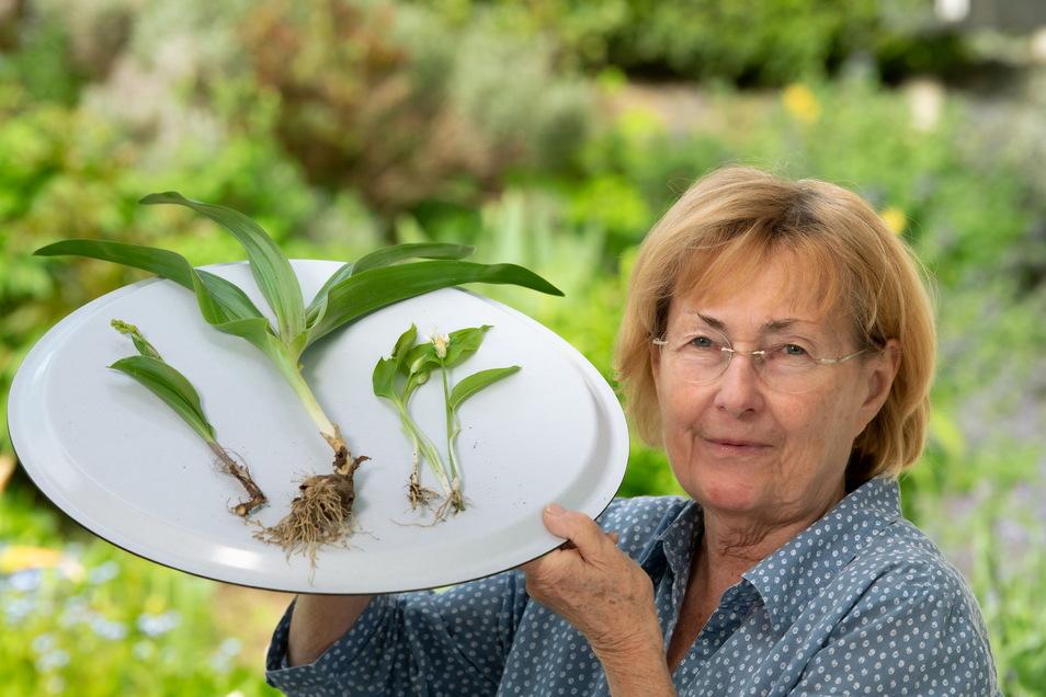Im Garten von Leonie Thiel in Freiberg wachsen jetzt Maiglöckchen (links), Herbstzeitlose (Mitte) und Bärlauch (rechts). Zu unterscheiden sind sie vor allem am Stiel und der Blattform.