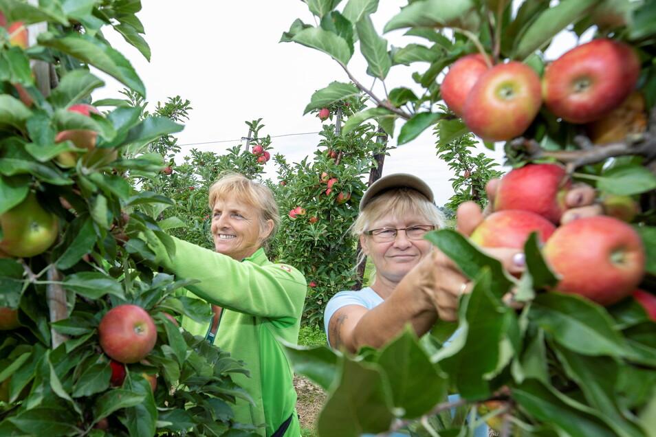 Krystyna Krötsch (l.) und Ivana Perkowska pflücken in Borthen Äpfel der frühen Sorte Elstar.