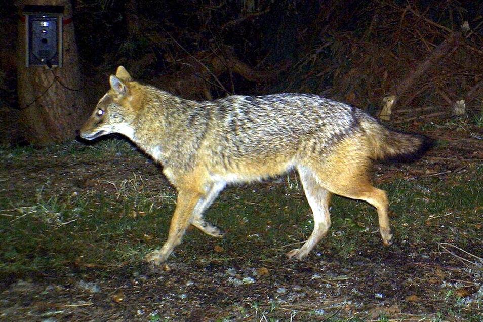 Nur mit geübtem Blick lässt sich der Goldschakal vom Wolf unterscheiden. Er ist rötlicher und hat eine spitzere Schnauze als der Verwandte.