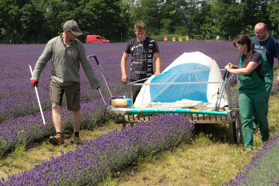 In den vergangenen Tagen ist auf dem großen Feld hinter dem Firmensitz der Agrargenossenschaft See die Lavendel-Ernte angelaufen. Auf drei Reihen gab es schon mehr Ertrag als im gesamten vergangenen Jahr.