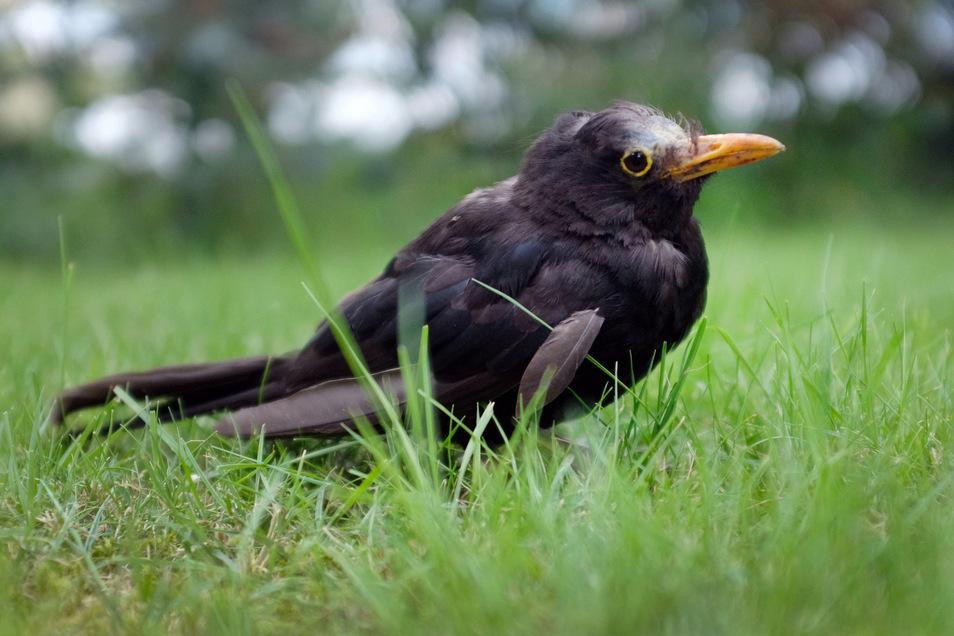 Eine vermutlich am Usutu-Virus erkrankte Amsel hockt im Gras. Befallene Tiere wirken offensichtlich krank, werden apathisch und flüchten nicht mehr. Fast immer sind es Amseln, bei denen die Usutu-Epidemie festgestellt wird.