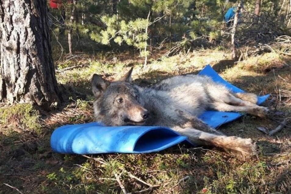 Die Wölfin Cora wurde im März dieses Jahres mit einem Senderhalsband ausgestattet und dazu kurzzeitig betäubt. Das Foto zeigt sie in der Aufwachphase danach.